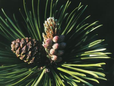 https://imgc.artprintimages.com/img/print/close-up-of-a-mugo-pine-tree-pinus-mugo_u-l-q10bjql0.jpg?p=0