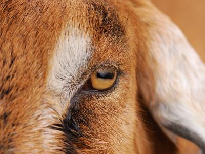 Close-up of a Nubian Goat's Eye-Darlyne A^ Murawski-Photographic Print