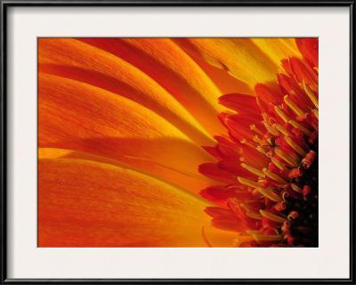 Close Up of a Orange Gerbera Daisy, Gerbera Species-Darlyne A^ Murawski-Framed Photographic Print