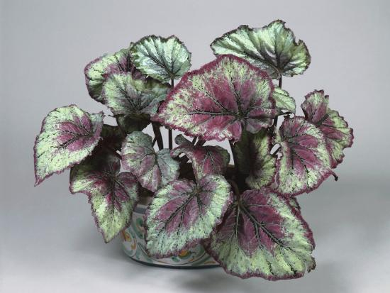 Close Up Of A Painted Leaf Begonia Plant Rex By G Cigolini