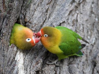 Close-Up of a Pair of Lovebirds, Ndutu, Ngorongoro, Tanzania--Photographic Print