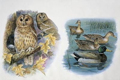 Close-Up of a Pair of Tawny Owls Perching on a Tree (Strix Aluco) and Ducks Swimming in a Pond (Ana--Giclee Print