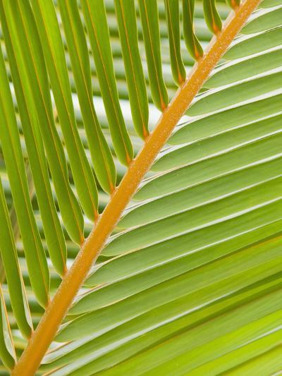 Close Up of a Palm Leaf-Ashley Cooper-Photographic Print