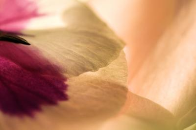 Close Up of a Pansy-Vickie Lewis-Photographic Print