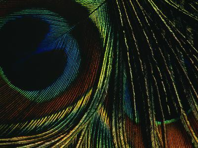 Close-up of a Peacock Feather--Photographic Print