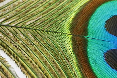 Close up of a Peacock Feather-Visage-Photographic Print