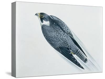 Close-Up of a Peregrine Falcon Flying (Falco Peregrinus)