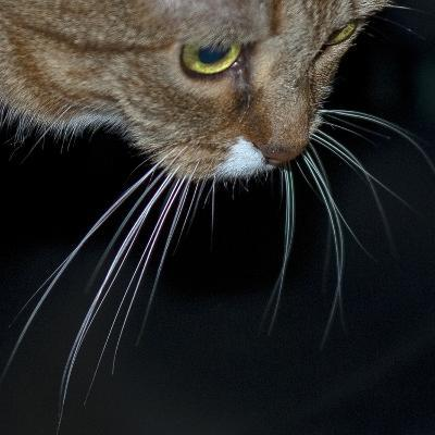 Close Up of a Pet Cat's Face and Whiskers-Amy & Al White & Petteway-Photographic Print