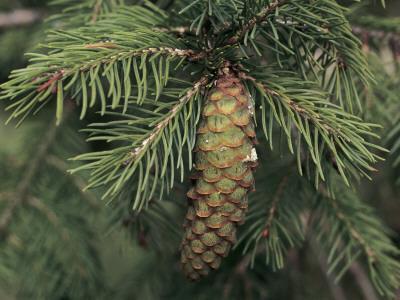 https://imgc.artprintimages.com/img/print/close-up-of-a-pine-cone-on-a-wilson-s-spruce-tree-picea-wilsonii_u-l-q10blea0.jpg?p=0