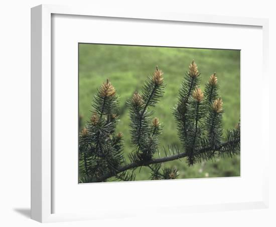 Close-Up of a Pine Tree-C. Sappa-Framed Photographic Print