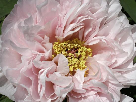 Close Up of a Pink Flower-Charles Kogod-Photographic Print