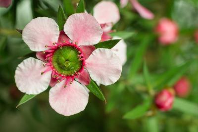 Close-Up of a Pink Manuka (Leptospermum Scoparium) Flower-Srekap-Photographic Print