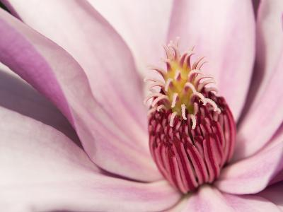 Close Up of a Pink Tulip Magnolia Flower, Magnolia Liliflora-Darlyne A^ Murawski-Photographic Print