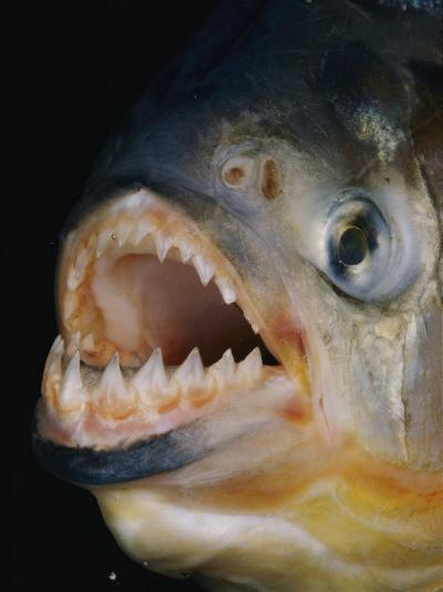 Close-up of a Piranha-Paul Zahl-Photographic Print