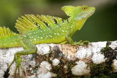 Close-Up of a Plumed Basilisk (Basiliscus Plumifrons) on a Branch, Cano Negro, Costa Rica--Photographic Print