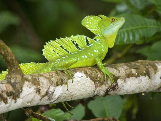 Close-Up of a Plumed Basilisk on a Branch, Costa Rica--Photographic Print