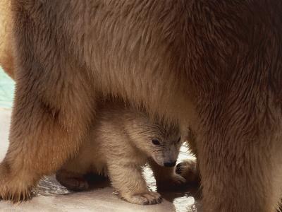 Close-Up of a Polar Bear with its Cub (Ursus Maritimus)--Photographic Print