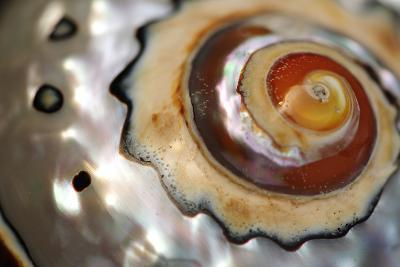 Close Up of a Polished Moon Snail Shell-Darlyne A^ Murawski-Photographic Print