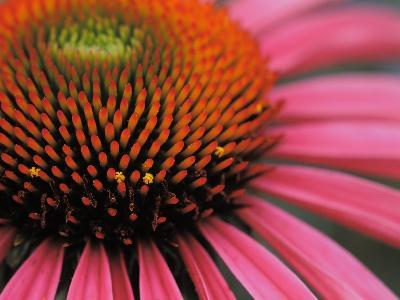 Close-up of a Purple Coneflower-Greg Dale-Photographic Print