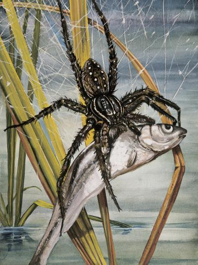 Close-Up of a Raft Spider Hunting a Fish (Dolomedes Fimbriatus)--Photographic Print