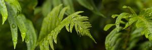 Close-Up of a Raindrops on Fern Leaves