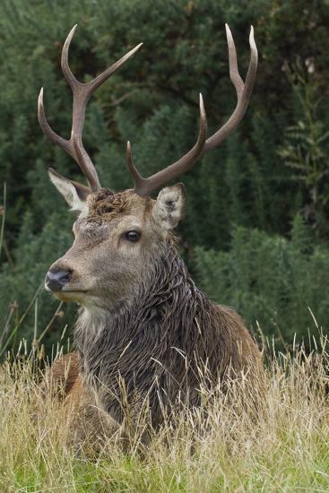 Close-Up of a Red Deer (Cervus Elaphus) Stag During Rut Resting--Photographic Print