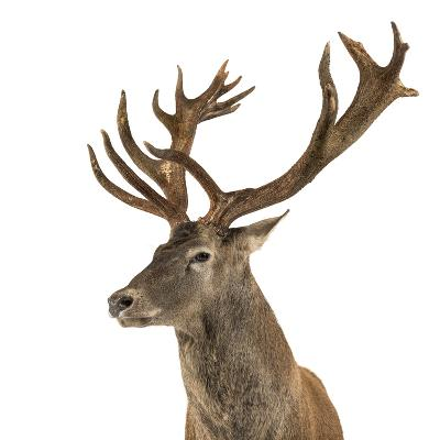 Close-Up of a Red Deer Stag in Front of a White Background-Life on White-Photographic Print