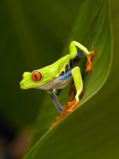 Close-Up of a Red-Eyed Tree Frog Sitting on a Leaf, Costa Rica--Photographic Print