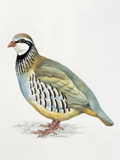 Close-Up of a Red Leg Partridge (Alectoris Rufa)--Giclee Print