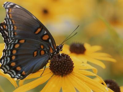 Close-up of a Red-Spotted Purple Butterfly on a Black-Eyed Susan-Brian Gordon Green-Photographic Print