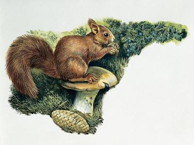 Close-Up of a Red Squirrel Eating a Nut (Sciurus Vulgaris)--Giclee Print