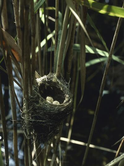 Close-Up of a Reedwarbler's Nest and Eggs (Acrocephalus Scirpaceus)-G^ Bellani-Photographic Print