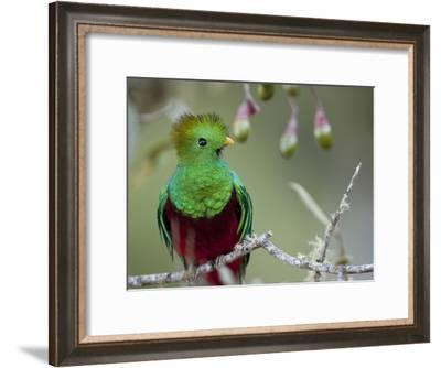 Close Up of a Resplendent Quetzal, Pharomachrus Mocinno, in a Tree-Roy Toft-Framed Photographic Print