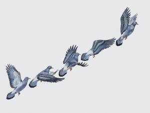 Close-Up of a Rock Pigeon in Flight (Columba Livia)