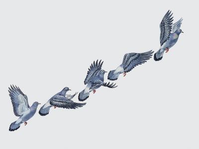Close-Up of a Rock Pigeon in Flight (Columba Livia)--Giclee Print