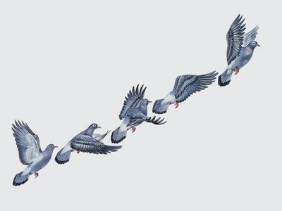 https://imgc.artprintimages.com/img/print/close-up-of-a-rock-pigeon-in-flight-columba-livia_u-l-pvrt3w0.jpg?p=0