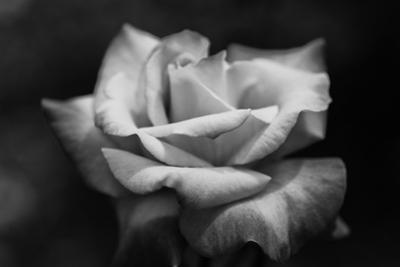 Close-Up of a Rose, Los Angeles County, California, USA