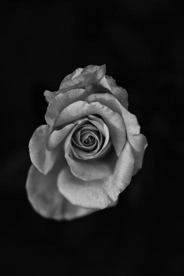 Close-Up of a Rose--Photographic Print