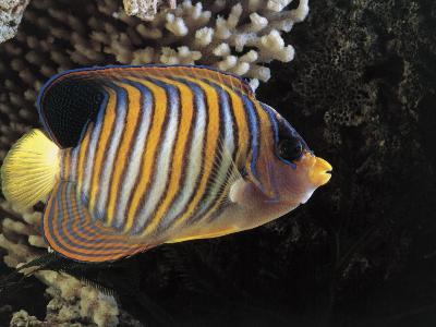 Close-Up of a Royal Angelfish Swimming Underwater (Pygoplites Diacanthus)-C^ Dani-Photographic Print