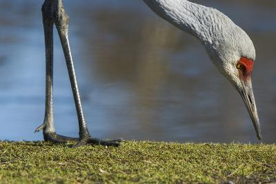 Close Up of a Sandhill Crane, Grus Canadensis, Feeding-Paul Colangelo-Photographic Print