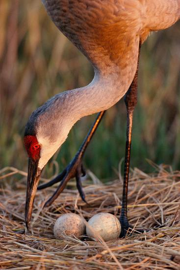 Close Up of a Sandhill Crane Tending to its Eggs-Michael Forsberg-Photographic Print