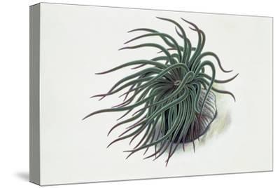 Close-Up of a Sea Anemone (Anemonia Sulcata)