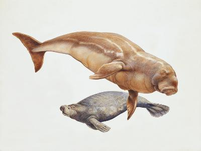 Close-Up of a Sea Cow (Trichechus Manatus) and a Dugong (Dugong Dugon)--Giclee Print