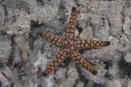 Close-Up of a Sea Star, Beqa Lagoon Fiji-Stocktrek Images-Photographic Print
