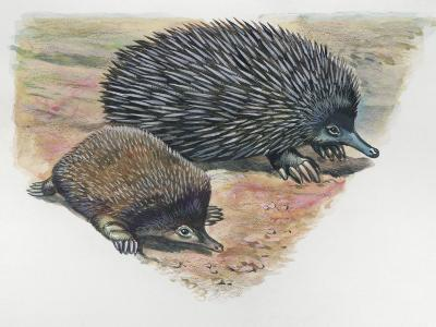 Close-Up of a Short-Beaked Echidna with its Young (Tachyglossus Aculeatus)--Photographic Print