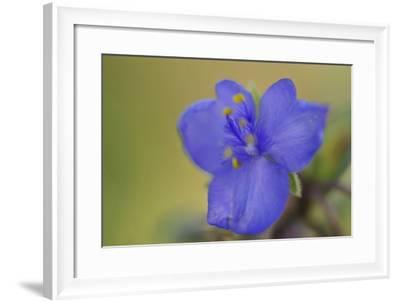 Close Up of a Single Spiderwort Flower-Michael Forsberg-Framed Photographic Print