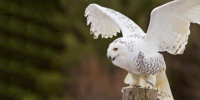 Close-Up of a Snowy Owl (Bubo Scandiacus) Prepare for Takeoff--Photographic Print