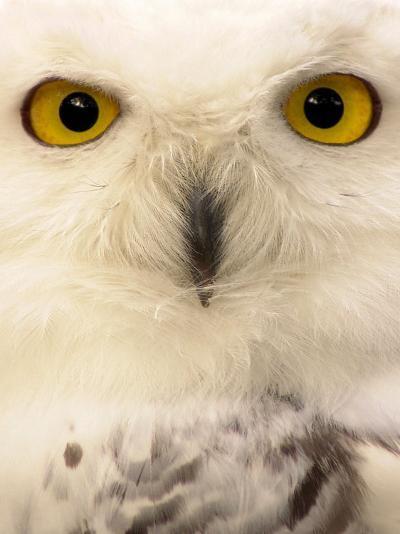 Close-Up of a Snowy Owl-Abdul Kadir Audah-Photographic Print