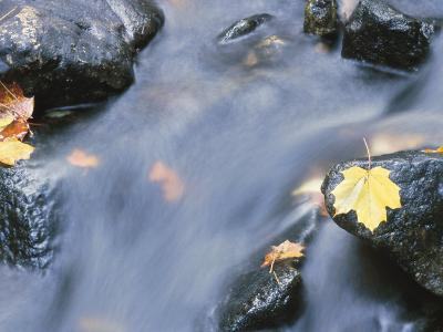 Close-Up of a Stream with Fallen Maple Leaves Caught on the Boulders--Photographic Print