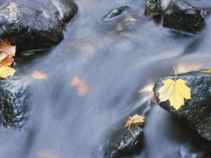 Close-Up of a Stream with Fallen Maple Leaves Caught on the Boulders